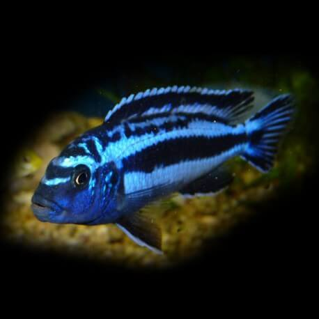 Melanochromis maingano 4 - 5 cm