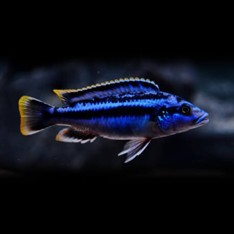 Melanochromis sp. northern blue 3,5-4cm