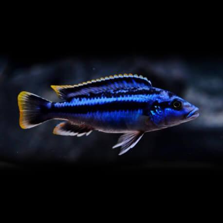Melanochromis sp. northern blue 5-7cm