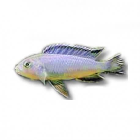 Mikrochromis zebroides 3,5-4,5cm