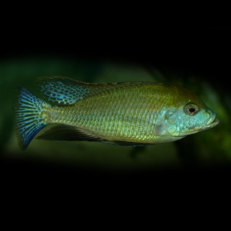 Mylochromis plagiotaenia 5-7cm