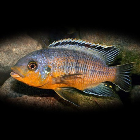 petrotilapia tridentiger orange 4-5cm