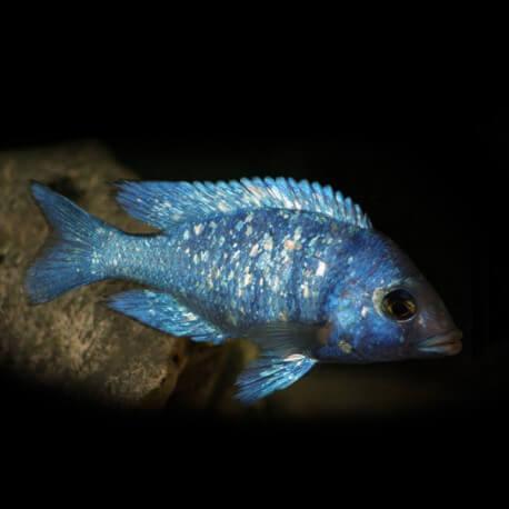 Placidochromis phenochilus 5 - 7 cm