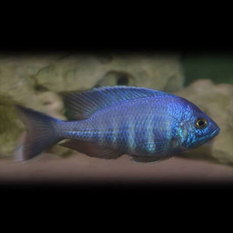 Placidochromis sp. blue 4-4,5cm