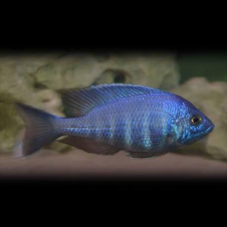 Placidochromis sp. blue 4-4,5cm