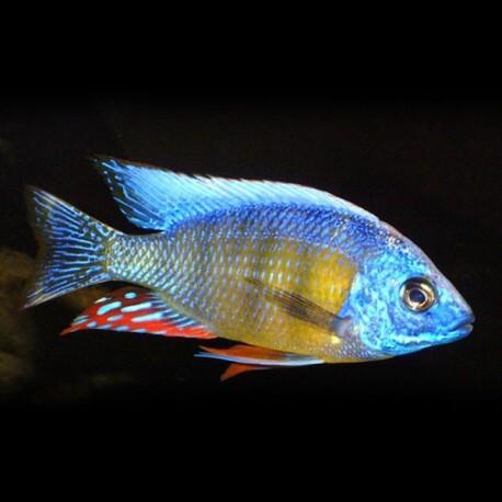 Protomelas sp. Taiwan reef 4-5cm