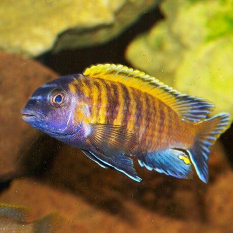 Pseudo Tropheops tropheops red fin XL