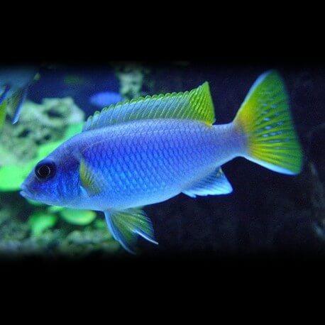 Pseudotropheus acei 5 - 7 cm