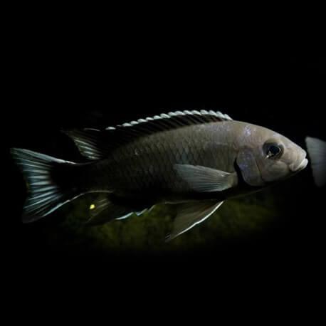 Pseudotropheus acei ngara 5,5-7cm