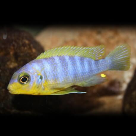 Pseudotropheus aurora 4 - 5 cm