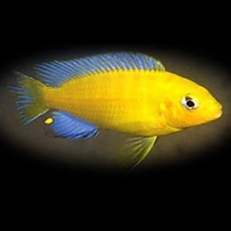 Pseudotropheus barlowi 4-5cm