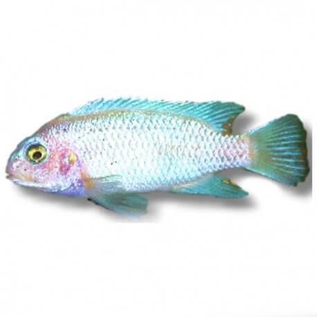 "Pseudotropheus calanois ""pearl white » 4-5cm"