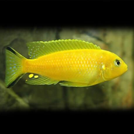 Pseudotropheus daktari 5-7cm