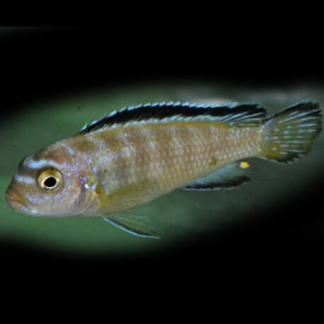 Pseudotropheus elongatus likoma 5-7cm