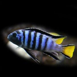 Pseudotropheus elongatus mpanga 4 - 5 cm