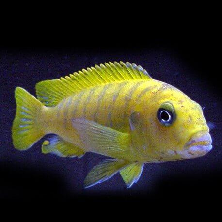 Pseudotropheus elongatus yellow 4-5cm