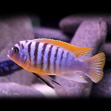 pseudotropheus fainzilberi red dorsal 5-7cm