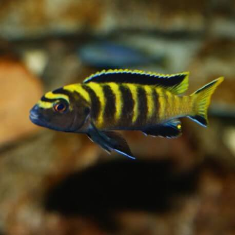 Pseudotropheus flavus 5 - 7 cm