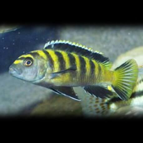 Pseudotropheus fuscus 4-5cm