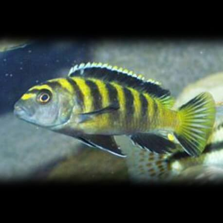 Pseudotropheus fuscus 5-7cm