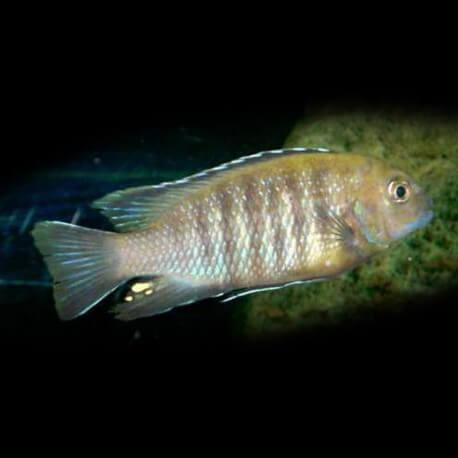 Pseudotropheus gracilior 4-5cm