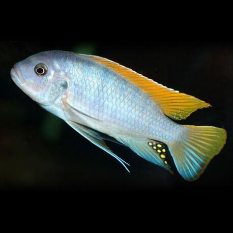 Pseudotropheus greishakei 5 - 7 cm