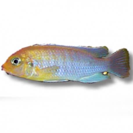 Pseudotropheus hailomailandi 4-5cm