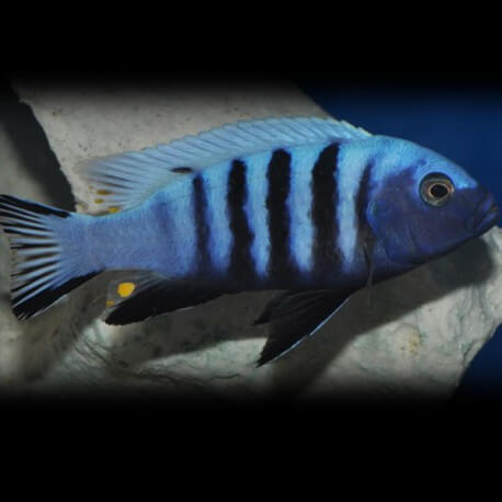 Pseudotropheus kingsizei blue gold 4 - 5 cm