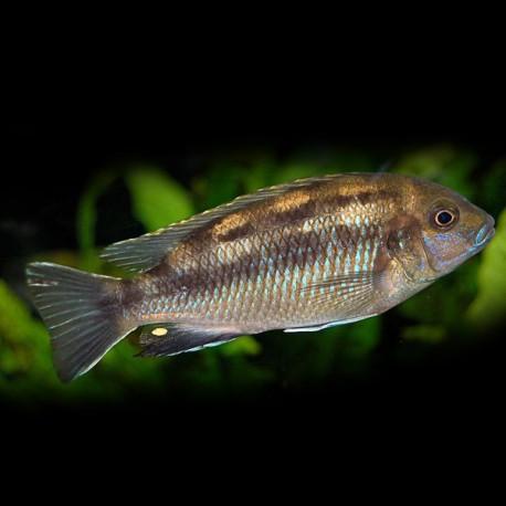 Pseudotropheus lanisticola 4-5cm