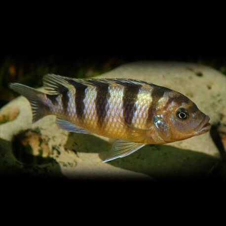 Pseudotropheus lombardoi 5 - 7 cm