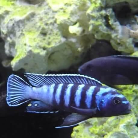 Pseudotropheus ornatus +9cm