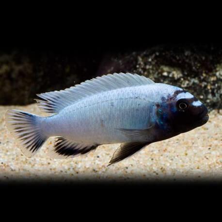 Pseudotropheus polit 4-5 cm