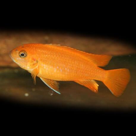 Pseudotropheus saulosi red coral 4 - 5 cm