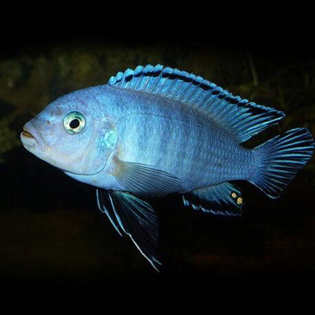 Pseudotropheus socolofi 7-9cm