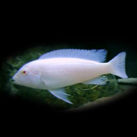 Pseudotropheus socolofi albin 5 - 7 cm