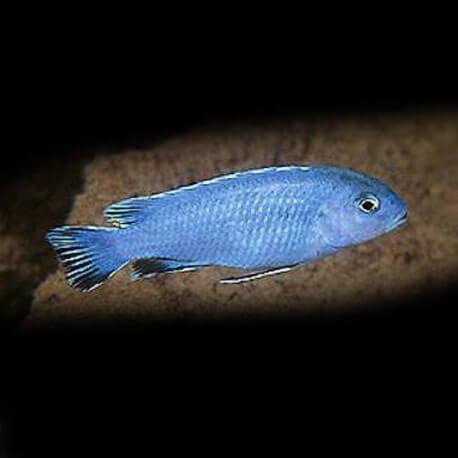"Pseudotropheus sp. « burower"" 4-5cm"