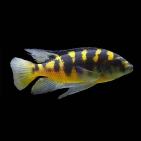 Pseudotropheus sp. crabro 1,5-2,5cm
