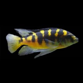 Pseudotropheus sp. crabro 4 - 5 cm