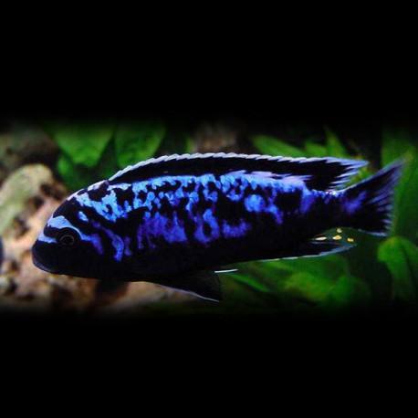 Pseudotropheus sp. msobo 4-5cm