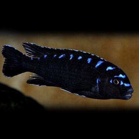 Pseudotropheus sp. neon spot 4 - 5 cm