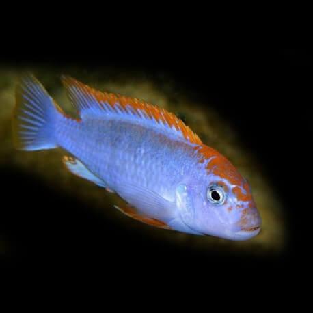 Pseudotropheus sp. red top ndumbi 5 - 6 cm