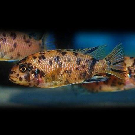 Pseudotropheus tropheops 5-7cm