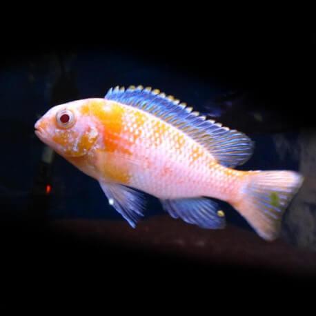 Pseudotropheus tropheops albinos 4-5cm
