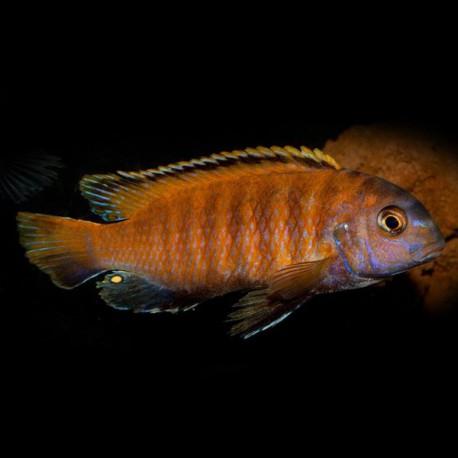 Pseudotropheus tropheops red fin 4 - 5 cm