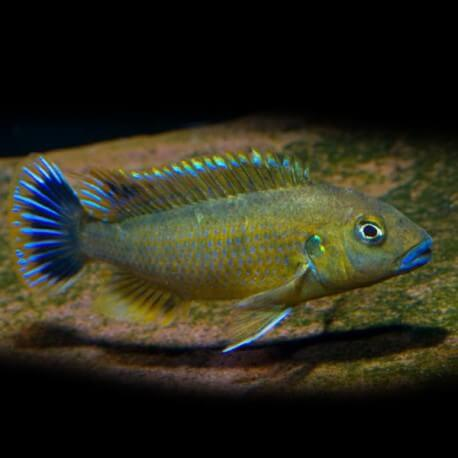 Pseudotropheus wiliamsi 4-5cm