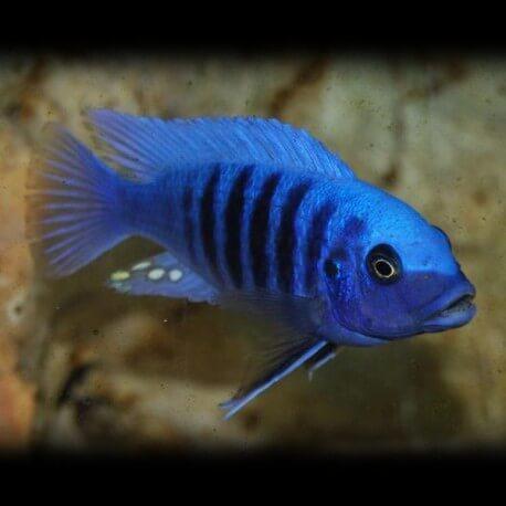 Pseudotropheus zebra blue + blue 7-9cm