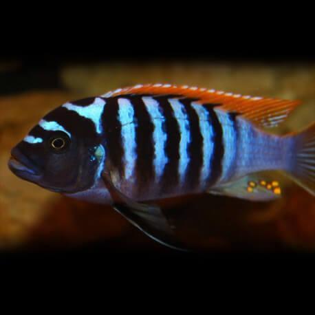 Pseudotropheus zebra red + blue 7-9cm