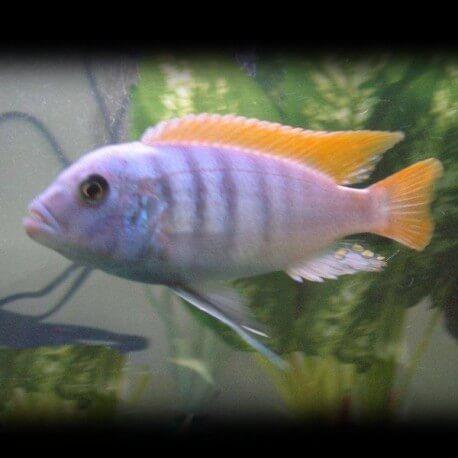 Pseudotropheus zebra red fin XL