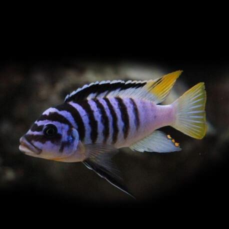 Pseudotropheus zebra Lundo 4-5cm