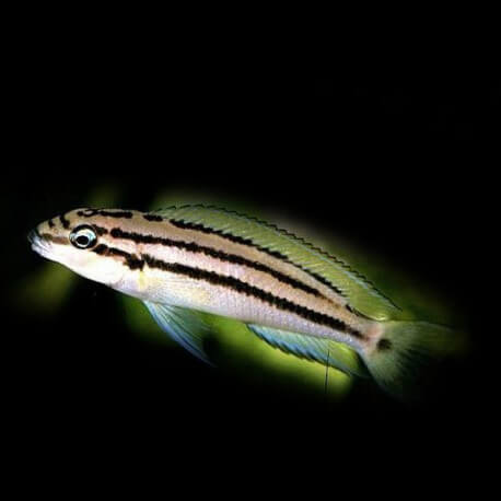 Chalinochromis bifrenatus 4-5cm